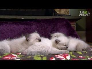 Котята и овчарка